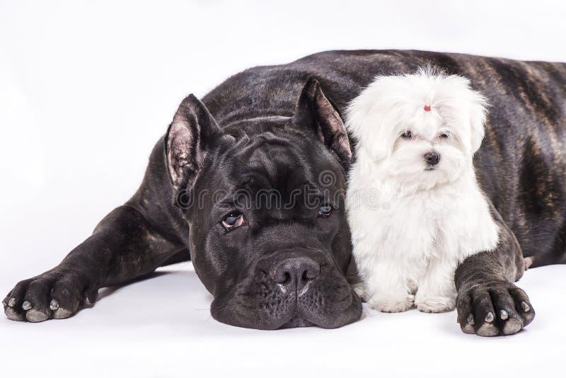Italiensk rotting-corsohund och valpen av maltesiskt på den vita bakgrunden arkivfoto