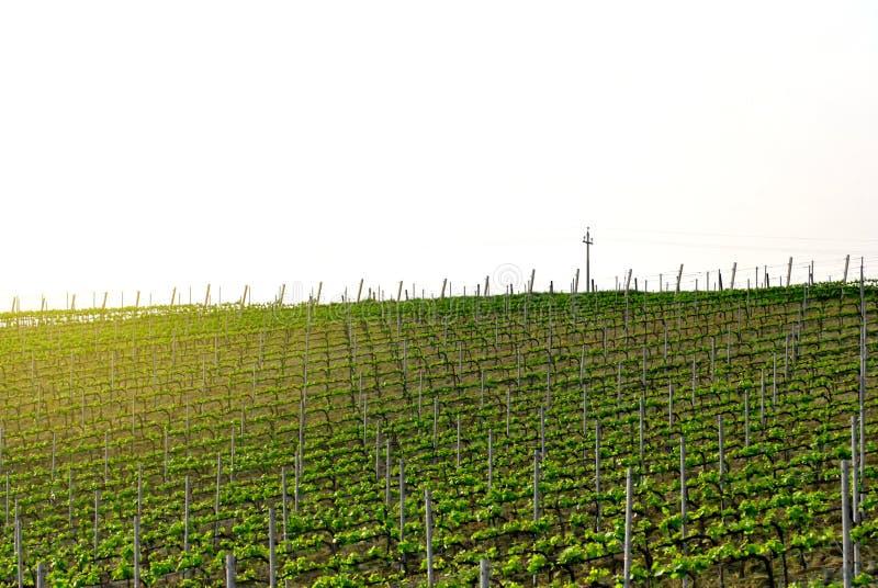 Italiensk vingård i en klar vårdag royaltyfri fotografi
