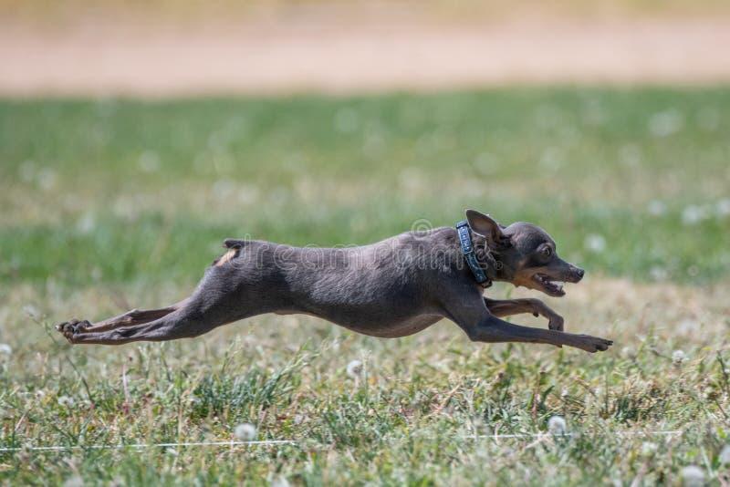 Italiensk vinthund i mitt--luft över gräset royaltyfri bild