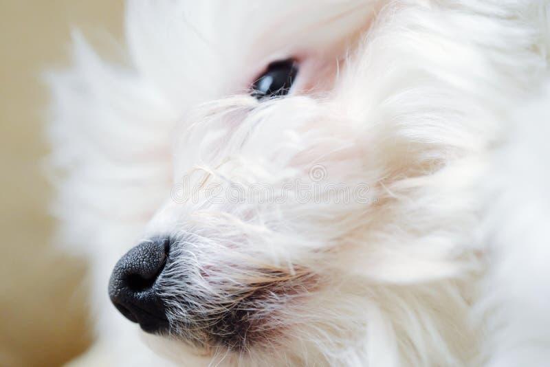 Italienskt övre för näsa och för mun för maltesisk hund nära arkivbild