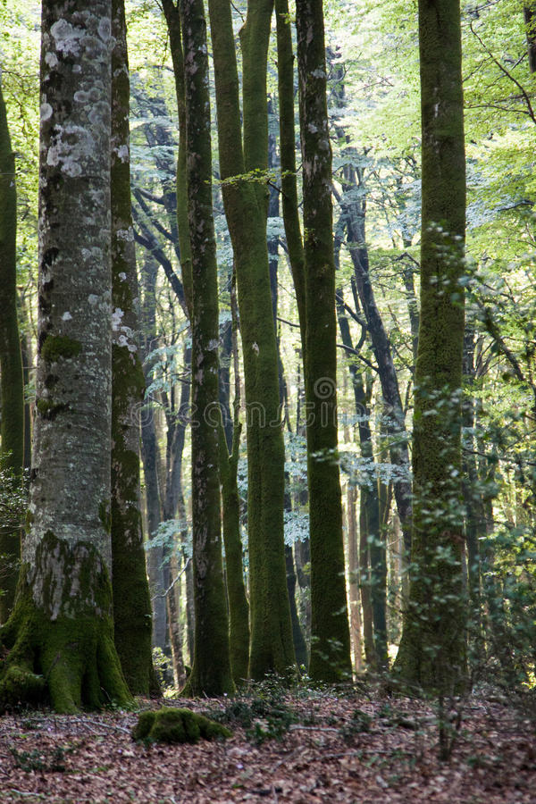 Italy Calabria Aspromonte - Old trees of beech - The Aspromonte. Old trees of beech royalty free stock photography