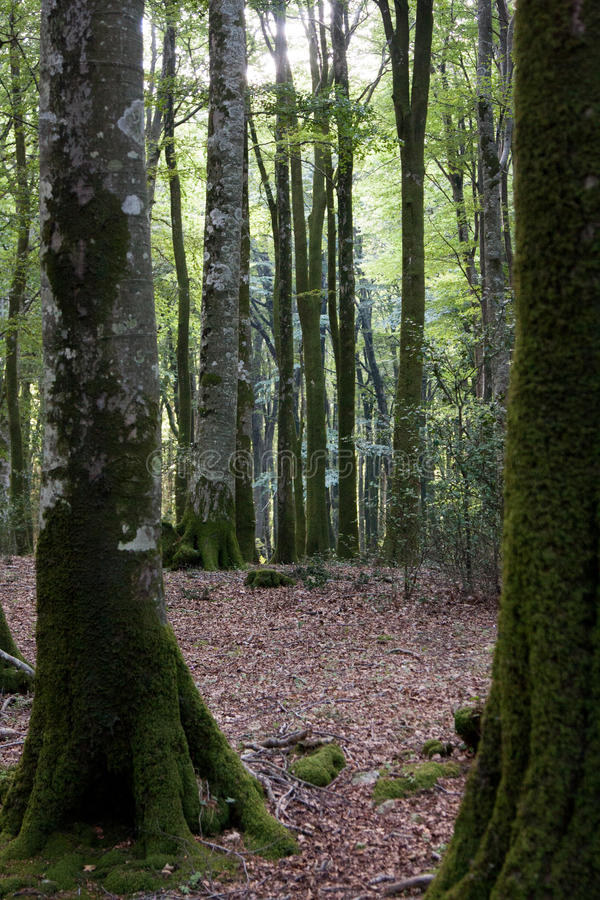 Italy Calabria Aspromonte - Old trees of beech - The Aspromonte. Old trees of beech royalty free stock image
