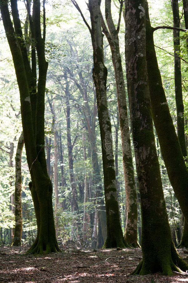 Italy Calabria Aspromonte - Old trees of beech - The Aspromonte. Old trees of beech stock images