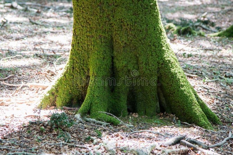 Italy Calabria Aspromonte - Old trees of beech - The Aspromonte. Old trees of beech royalty free stock photos