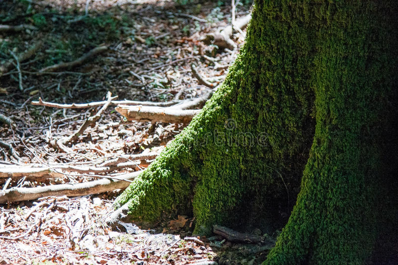 Italy Calabria Aspromonte - Old trees of beech - The Aspromonte. Old trees of beech royalty free stock photo