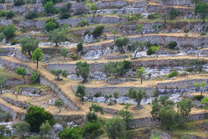 Italy hillside olive grove. On Gargano Peninsula stock images