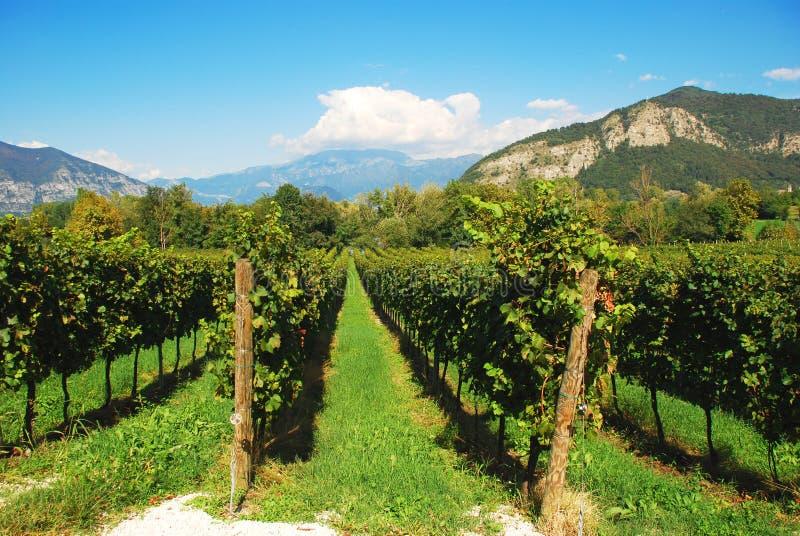 italy lombardy vingård royaltyfri foto