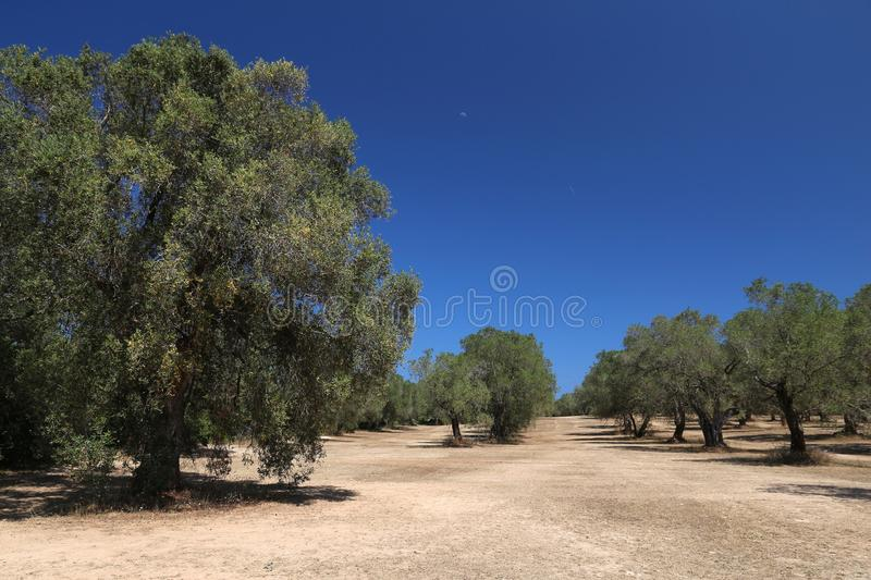 Italy olive grove stock images