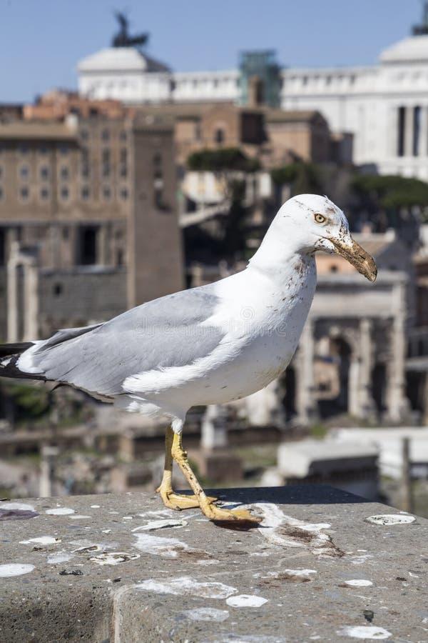 italy seagull Rome obraz royalty free