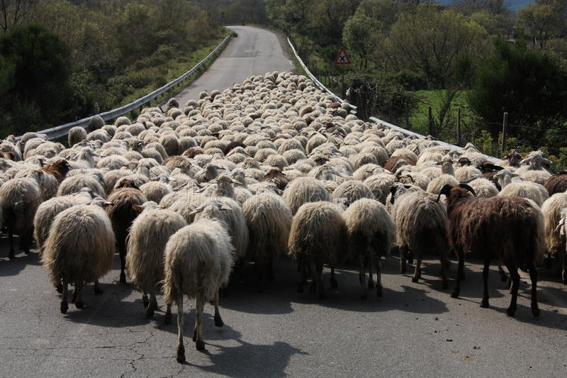 Italy. Sheep stock photography