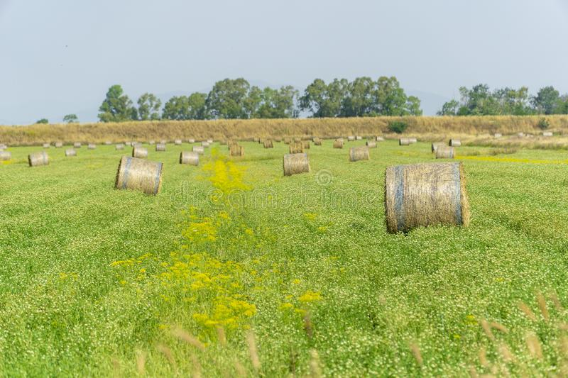 Italy Tuscany Alberese Grosseto, field with hay bales grass and yellow flowers, panoramic view. Tuscany Alberese Grosseto, field with hay bales grass and yellow stock photography