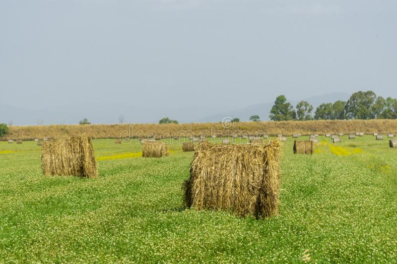 Italy Tuscany Alberese Grosseto, field with hay bales grass and yellow flowers, panoramic view. Tuscany Alberese Grosseto, field with hay bales grass and yellow stock photo