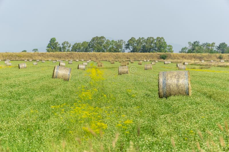 Italy Tuscany Alberese Grosseto, field with hay bales grass and yellow flowers, panoramic view. Tuscany Alberese Grosseto, field with hay bales grass and yellow stock images