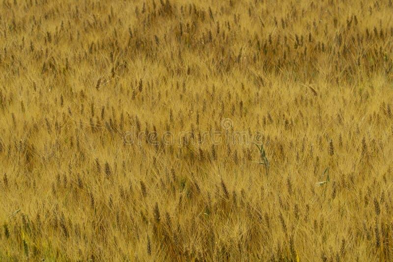 Italy Tuscany Alberese Grosseto, ripe wheat field. Tuscany Alberese Grosseto, ripe wheat field royalty free stock images
