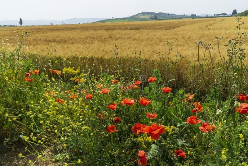 Italy Tuscany Alberese Grosseto, ripe wheat field. Tuscany Alberese Grosseto, ripe wheat field royalty free stock photos