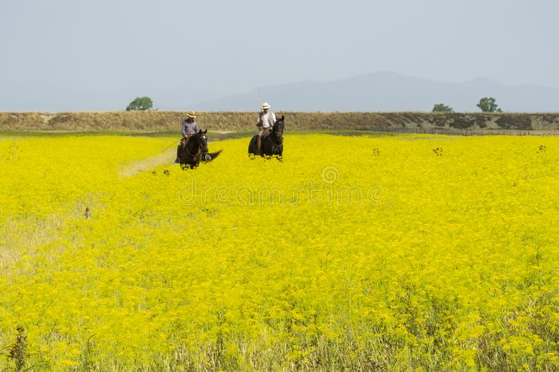 Italy Tuscany Alberese Maremma Natural Park called Uccellina two cowboys cross a field in rapeseed on horseback royalty free stock photography