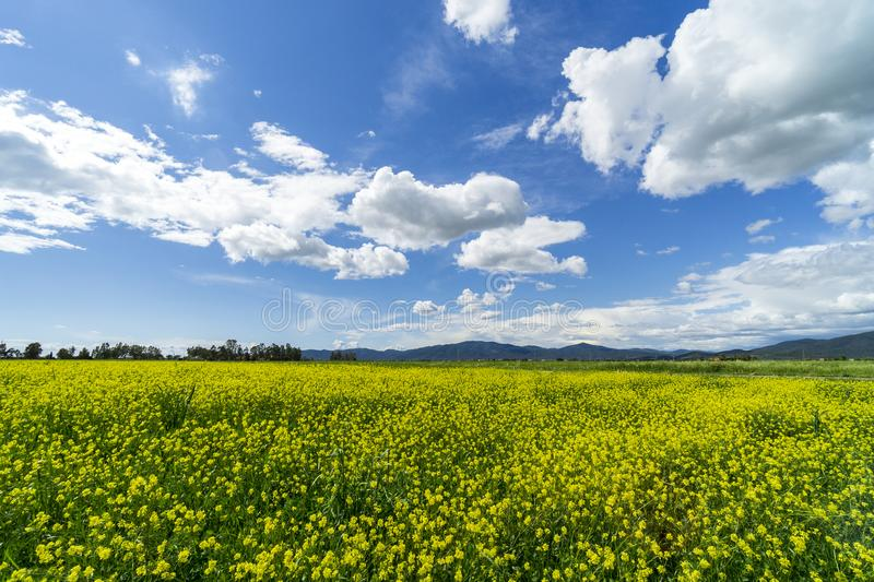 Italy Tuscany Grosseto Maremma rural landscape in bloom, rapeseed fields in flowering hills and pine forest. Tuscany Grosseto Maremma rural landscape in bloom stock photography