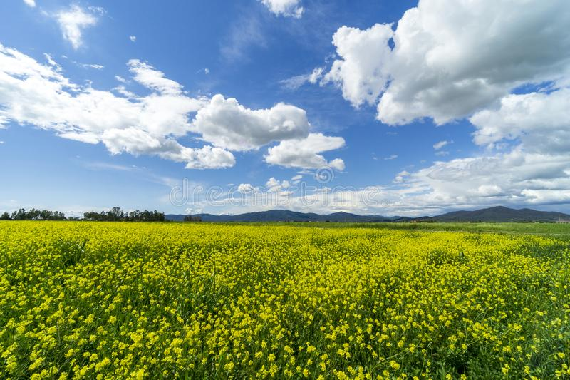 Italy Tuscany Grosseto Maremma rural landscape in bloom, rapeseed fields in flowering hills and pine forest. Tuscany Grosseto Maremma rural landscape in bloom stock photos