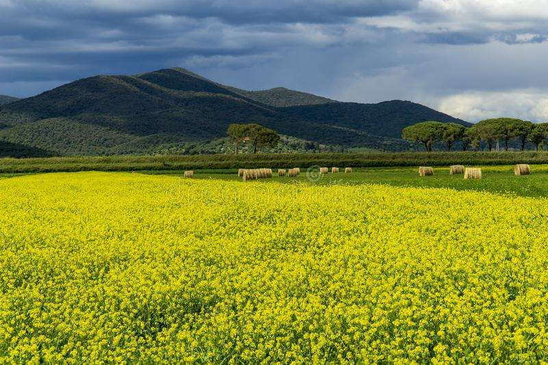 Italy Tuscany Grosseto Maremma rural landscape in bloom, rapeseed fields in flowering hills and pine forest. Tuscany Grosseto Maremma rural landscape in bloom stock image