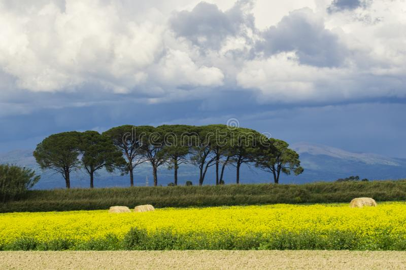 Italy Tuscany Grosseto Maremma rural landscape in bloom, rapeseed fields in flowering hills and pine forest. Tuscany Grosseto Maremma rural landscape in bloom royalty free stock photo