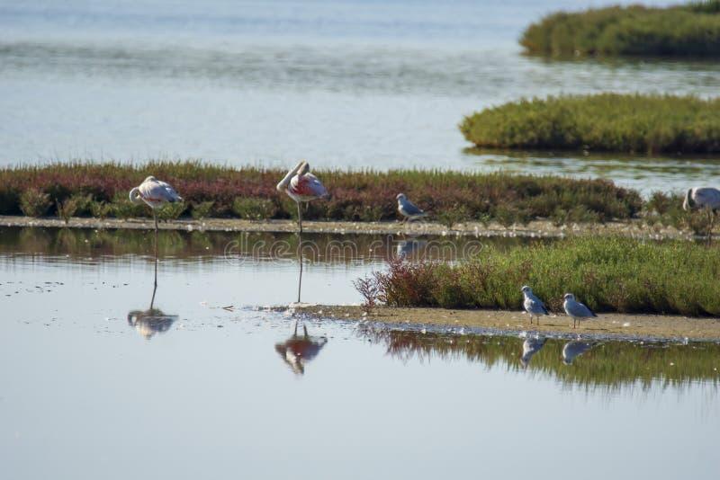 Italy Tuscany maremma Castiglione della Pescaia, natural reserve of Diaccia Botrona, colony of flamingos. Tuscany maremma Castiglione della Pescaia, natural stock photography