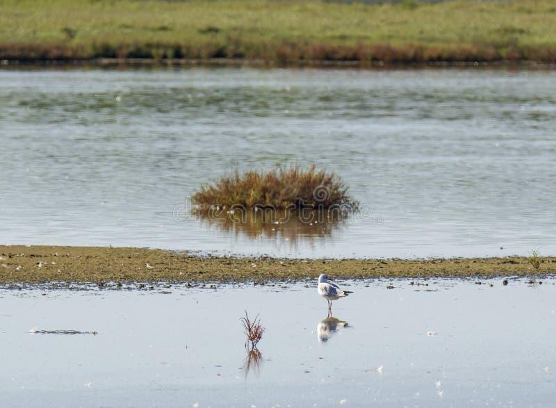 Italy Tuscany maremma Castiglione della Pescaia, natural reserve of Diaccia Botrona, colony of flamingos. Tuscany maremma Castiglione della Pescaia, natural stock image