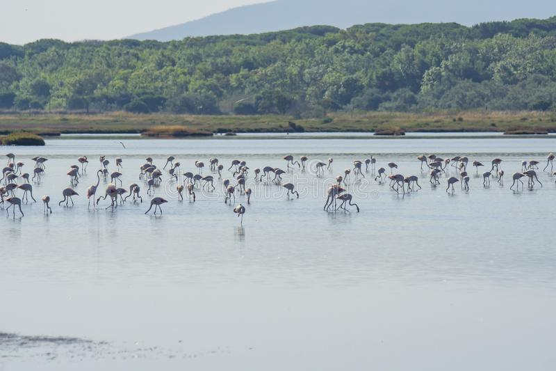 Italy Tuscany maremma Castiglione della Pescaia, natural reserve of Diaccia Botrona, colony of flamingos. Tuscany maremma Castiglione della Pescaia, natural royalty free stock photo
