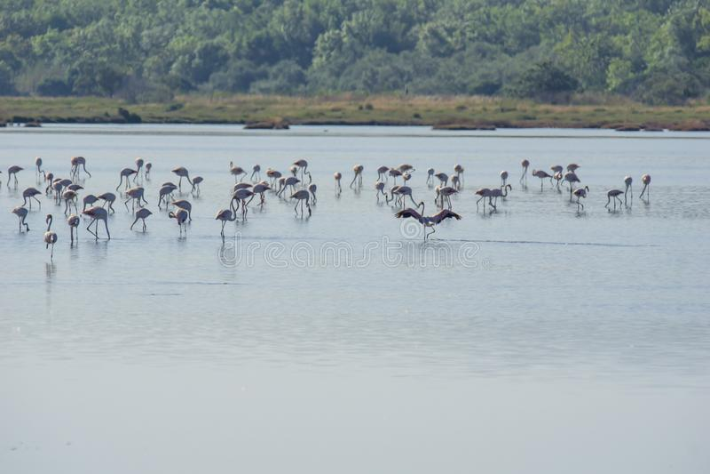 Italy Tuscany maremma Castiglione della Pescaia, natural reserve of Diaccia Botrona, colony of flamingos. Tuscany maremma Castiglione della Pescaia, natural royalty free stock image