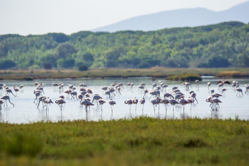 Italy Tuscany maremma Castiglione della Pescaia, natural reserve of Diaccia Botrona, colony of flamingos. Tuscany maremma Castiglione della Pescaia, natural stock images