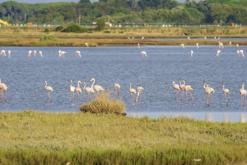 Italy Tuscany maremma Castiglione della Pescaia, natural reserve of Diaccia Botrona, colony of flamingos. Tuscany maremma Castiglione della Pescaia, natural stock photos