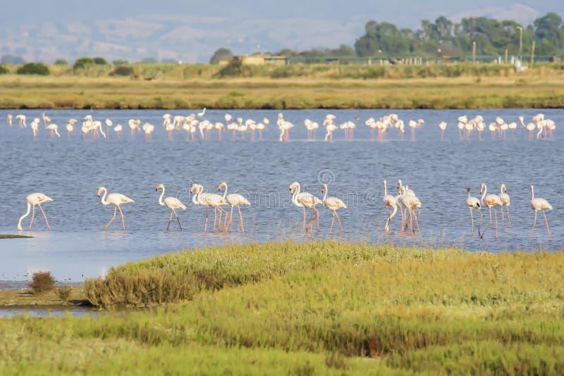 Italy Tuscany maremma Castiglione della Pescaia, natural reserve of Diaccia Botrona, colony of flamingos. Tuscany maremma Castiglione della Pescaia, natural stock photo