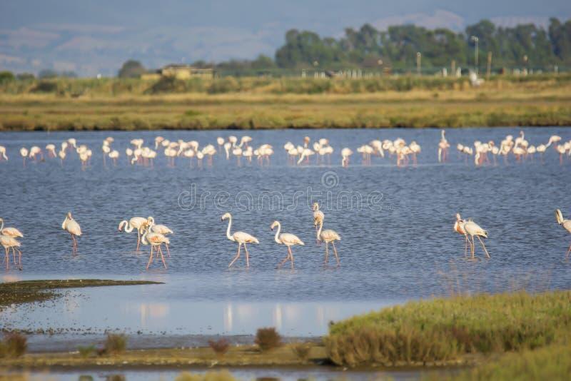 Italy Tuscany maremma Castiglione della Pescaia, natural reserve of Diaccia Botrona, colony of flamingos. Tuscany maremma Castiglione della Pescaia, natural royalty free stock photography