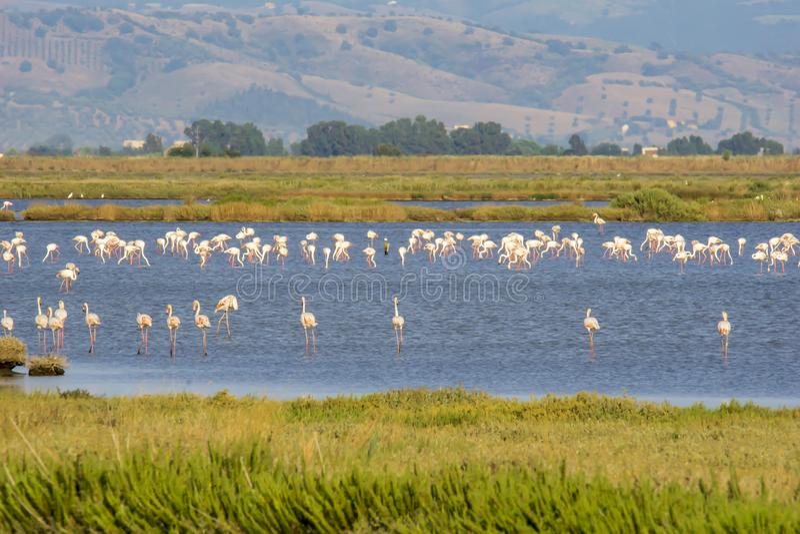 Italy Tuscany maremma Castiglione della Pescaia, natural reserve of Diaccia Botrona, colony of flamingos. Tuscany maremma Castiglione della Pescaia, natural royalty free stock images
