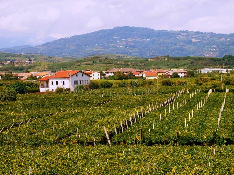 Italy vineyard landscape panoramic stock photography