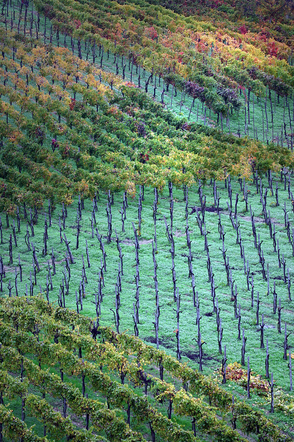 Italy, vineyards in autumn. Colors and drawings of autumn vineyards after the rain in the Scuropasso Valley, Montecalvo Versiggia, Oltrepo Pavese, Pavia, Italy stock photography