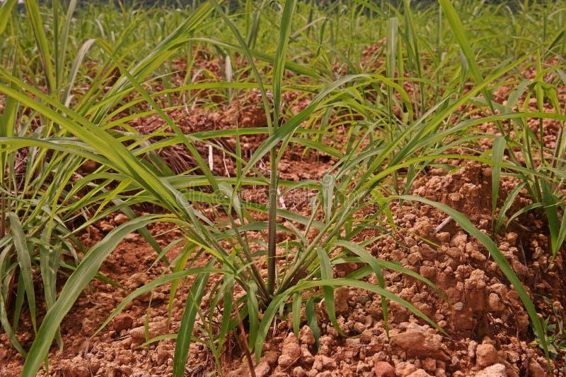 Itchgrass, invasief jaarlijks gras aan landbouwgebieden stock fotografie