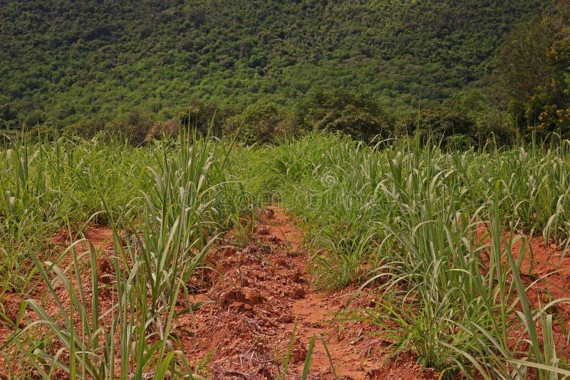 Itchgrass, invasief jaarlijks gras aan landbouwgebieden royalty-vrije stock foto
