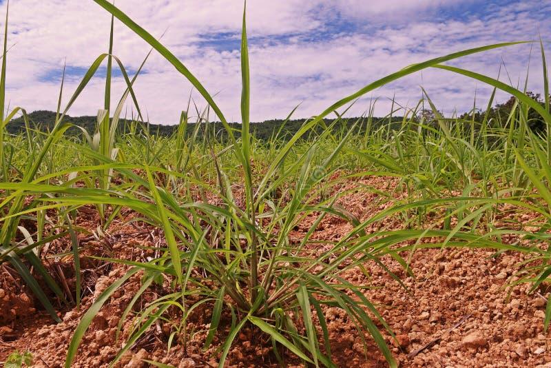 Itchgrass, invasief jaarlijks gras aan landbouwgebieden stock afbeeldingen