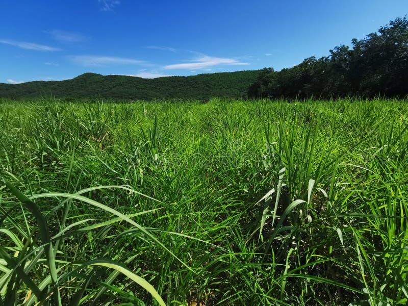 itchgrass, schadelijk grasonkruid op suikerrietgebied stock afbeeldingen