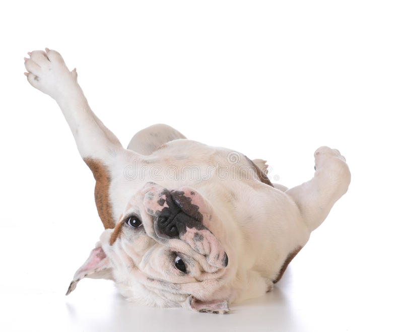 Itchy dog. Bulldog laying upside down looking at viewer on white background stock image