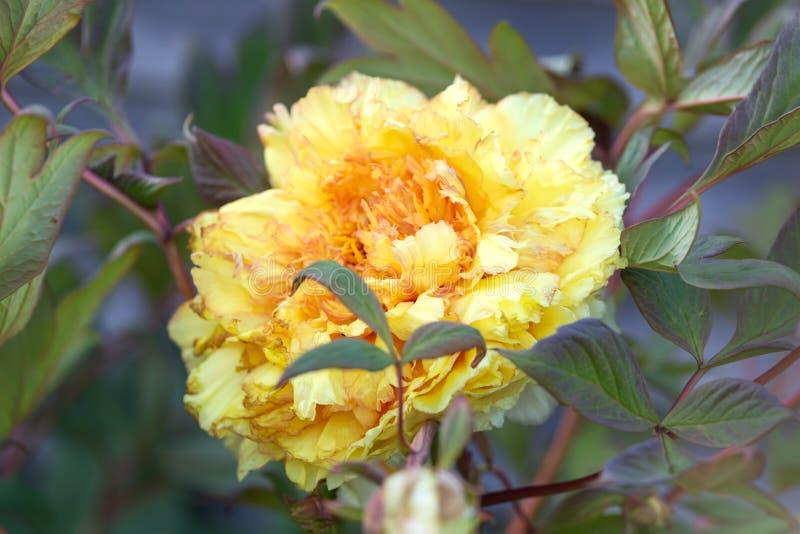 Itoh杂种牡丹黄色Bartzella在庭院里 图库摄影