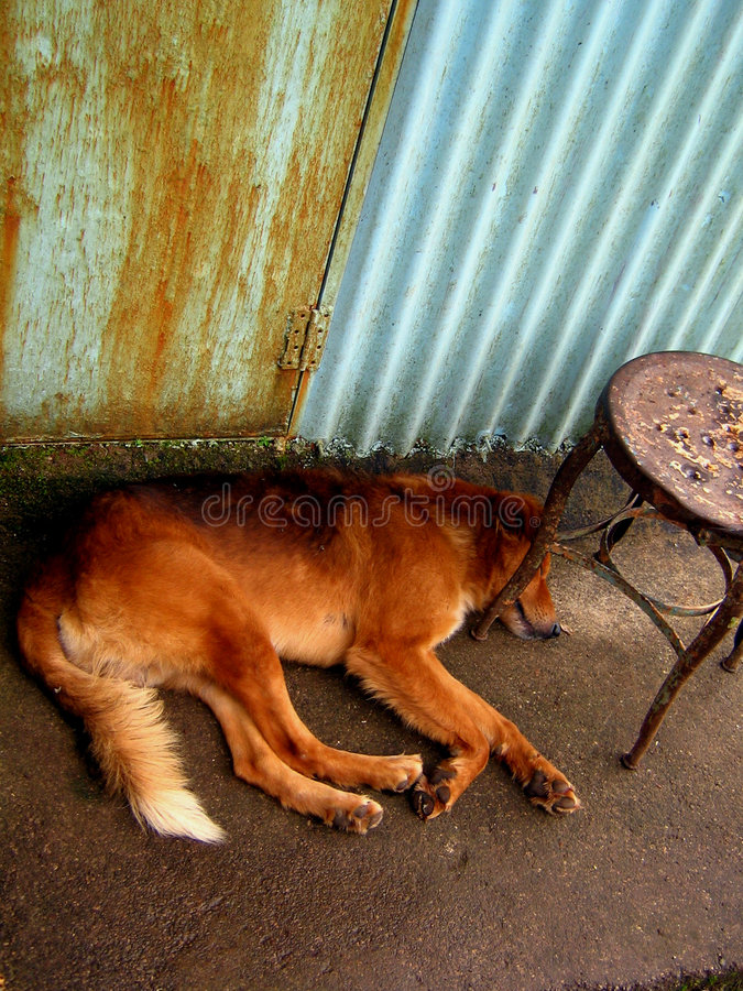 Its a Dogs Life. A dog lays asleep on a rainy day in India royalty free stock images