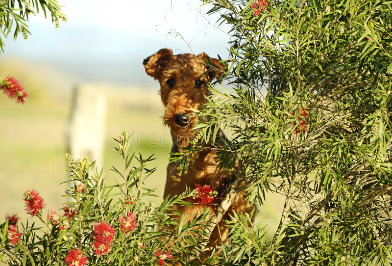 Its a dogs life. Big cheeky playful Airedale Terrier playing on country farm stock image