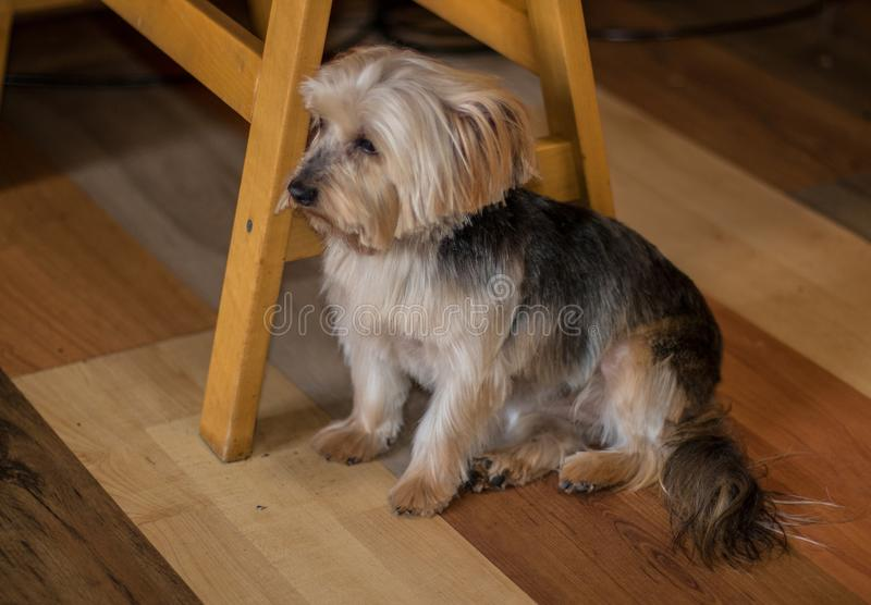 Melancholic dog sitting under a table. After its haircut, the dog sat around in a state of melancholy for hours image with copy space in landscape format royalty free stock photo