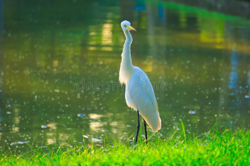 With its head twisted 180 degrees, a tall, orange beaked, white egret stands on the edge of a pond and green lawn. royalty free stock images