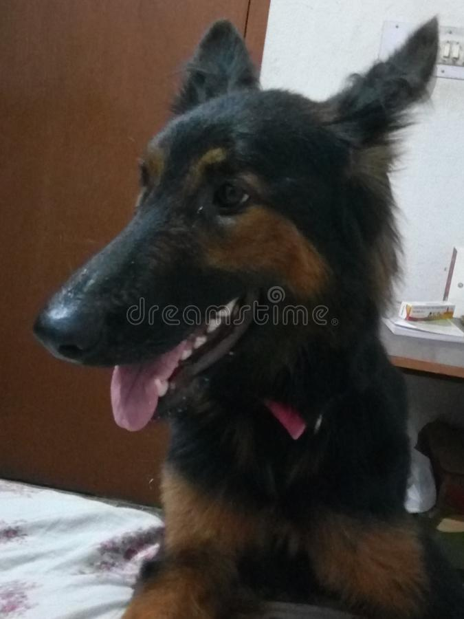 Its a large breed 18 month& x27;s German Shepherd puppy stock images