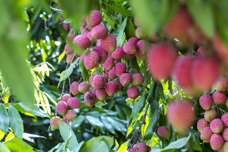 Its lychee picking time at ranisonkoil, thakurgoan, Bangladesh. The Lychee is a fresh small fruit having whitish pulp with fragrant flavor. The fruit is covered stock photography