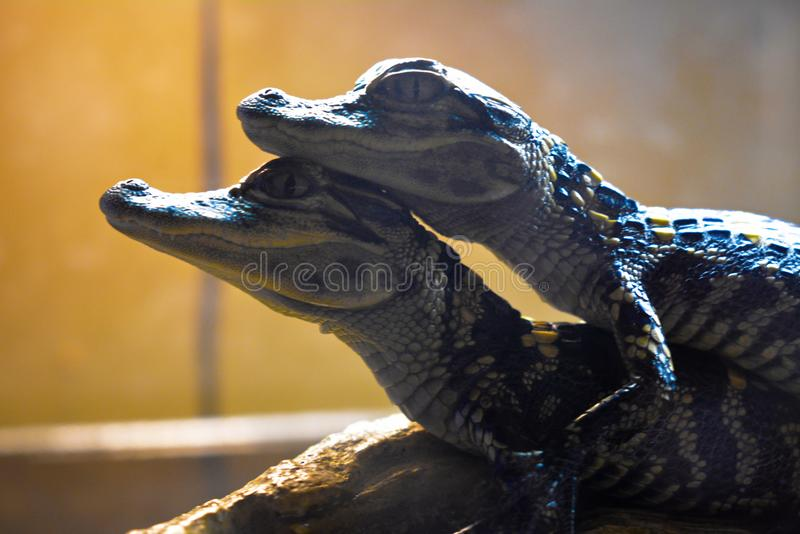 Two little crocodiles together forever stock photography
