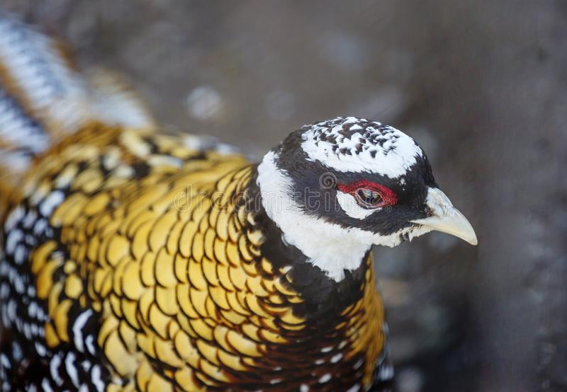 Reeves pheasant. Its plumage seems scaly because of the shiny dark brown and black edges on the feathers. The head is black with a white `cap` and a wide ring royalty free stock photography