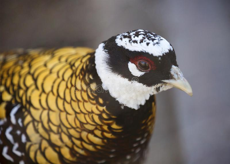 Reeves pheasant. Its plumage seems scaly because of the shiny dark brown and black edges on the feathers. The head is black with a white `cap` and a wide ring royalty free stock photo